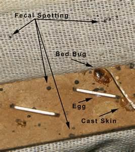bedbug dropping